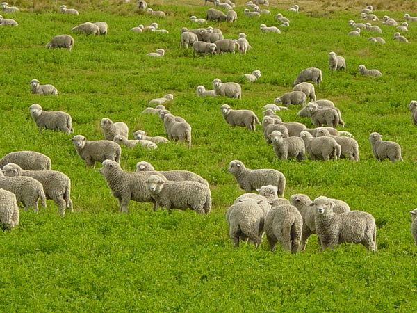 Mơ thấy con cừu là điềm báo lành hay dữ?