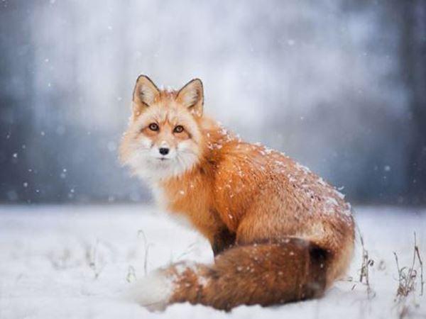 Mơ thấy con cáo là điềm đen hay đỏ, ghi ngay con số nào?