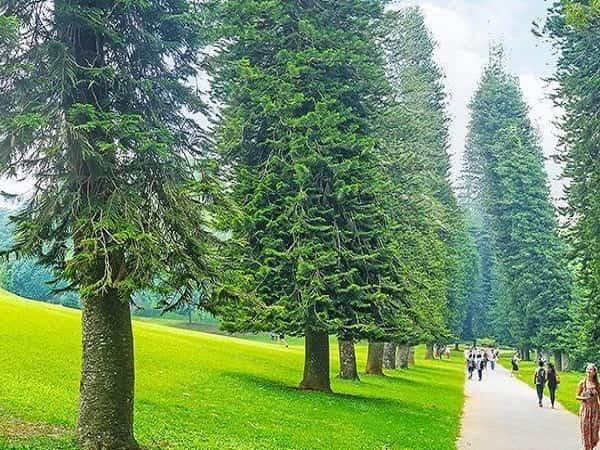 nằm mơ thấy cây thông