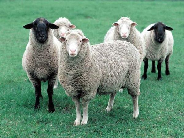 Nằm mơ thấy con cừu