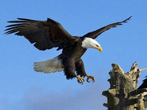 Mơ thấy chim đại bàng là điềm hên hay xui? Đánh con gì?
